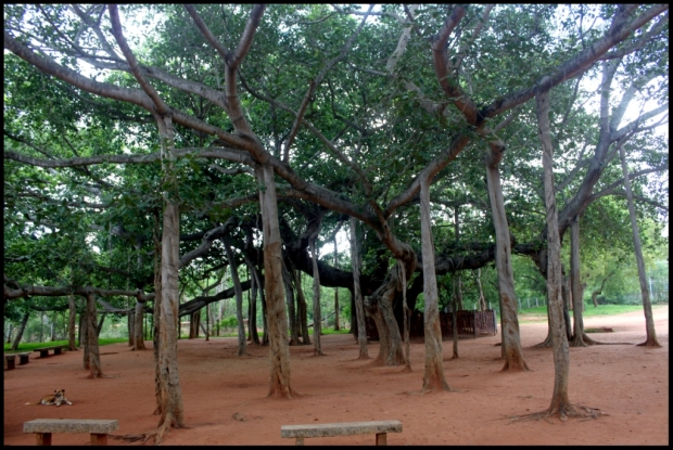HUGE HUGE Banyan tree, just before entering road towards matrimandir. Encompasses shadow of love for humanity. Spent few hrs sitting on the benches you see in the image